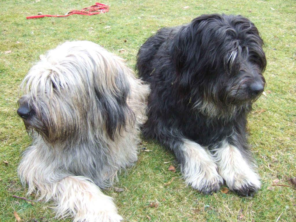 Две милые каталонские овчарки фото