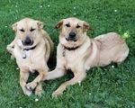 Две собаки чинук
