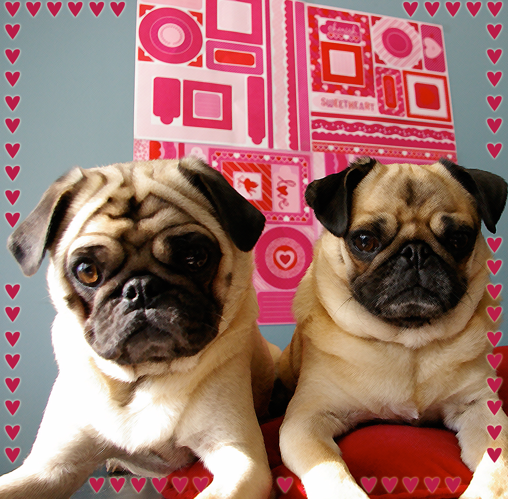 Two cute Valentine Pug dogs wallpaper
