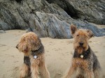 Two cute Airedale Terrier on the beach