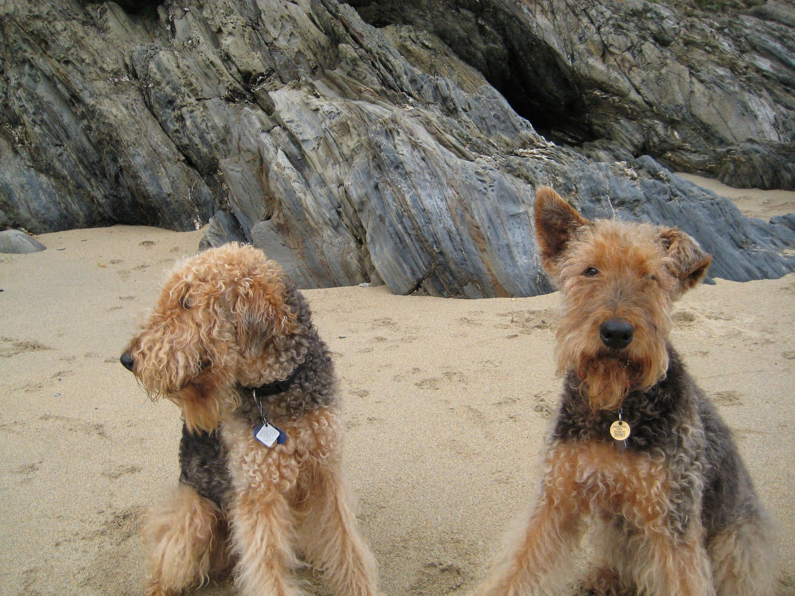 Two cute Airedale Terrier on the beach wallpaper