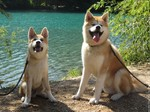 Two cute Akita Inu near the water