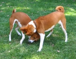 Two cute Basenji dogs