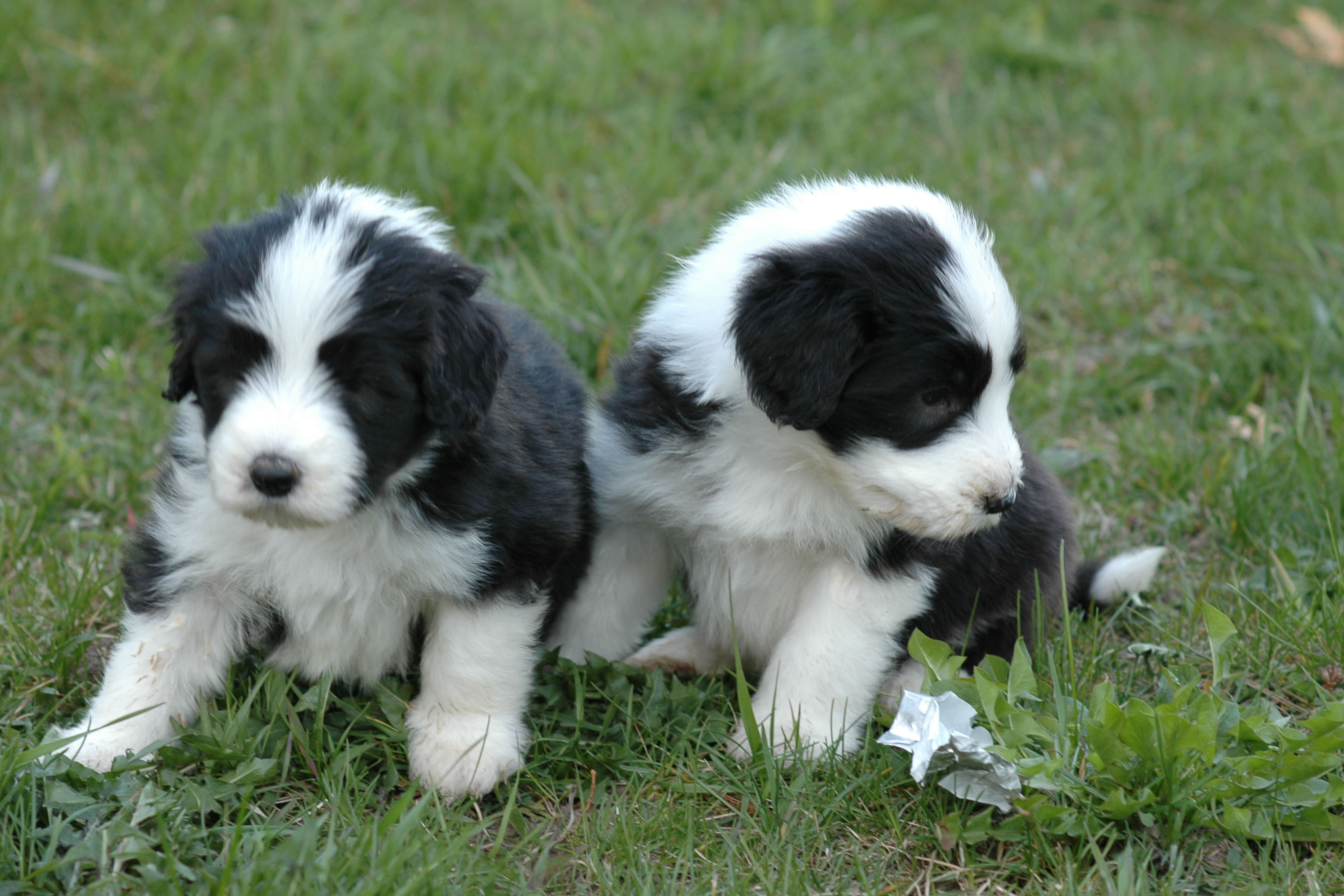 Two Cute Bearded Collie Puppies Photo