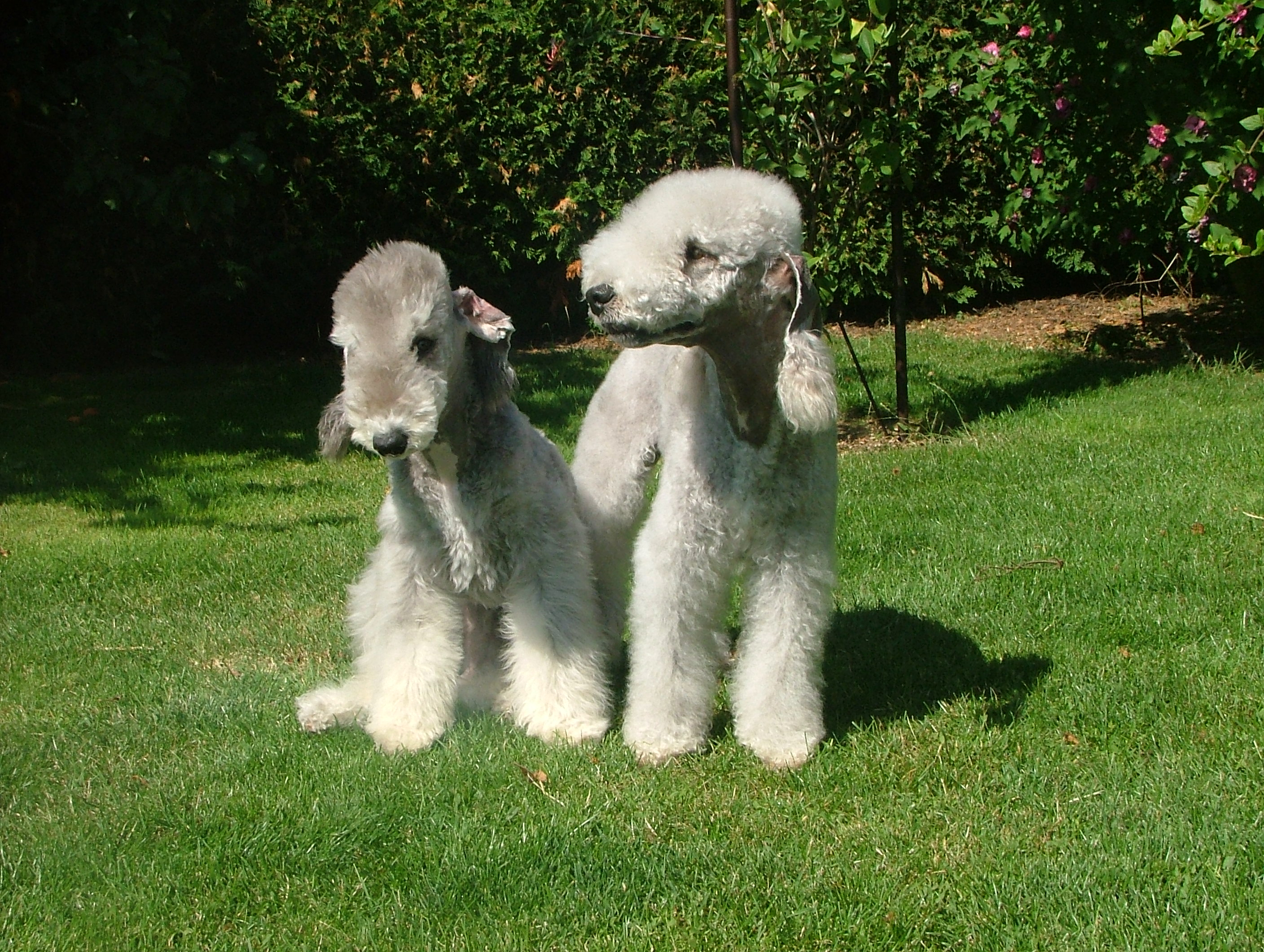 Two cute Bedlington Terrier dogs wallpaper