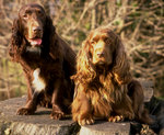 Two cute Field Spaniel dogs