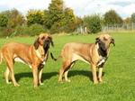 Two cute Fila Brasileiro dogs