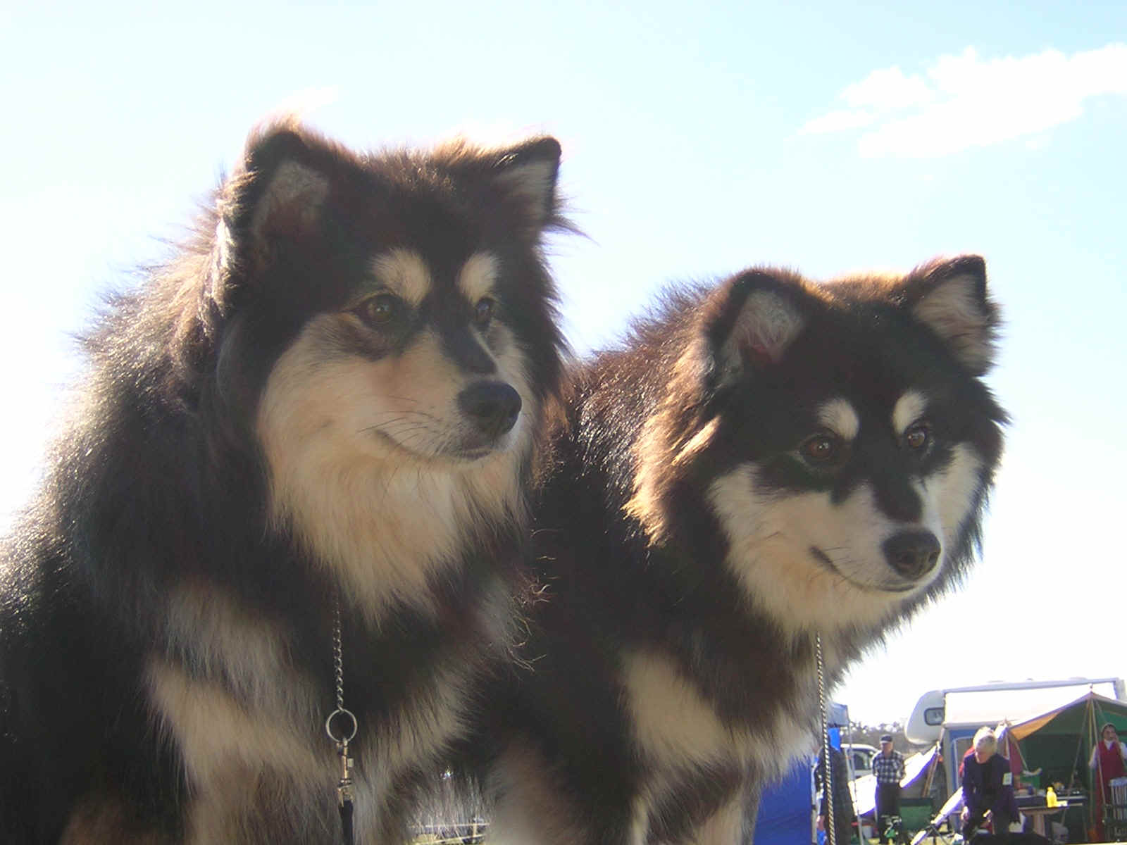 Two cute Finnish Lapphund dogs wallpaper