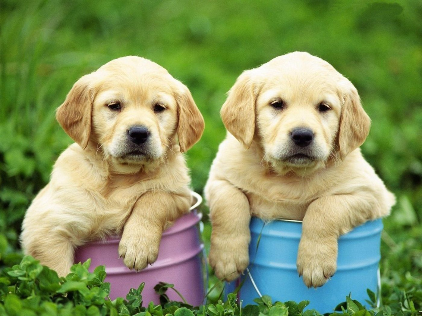 Two cute Golden Retriever puppies wallpaper