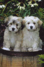 Two cute havanese dogs