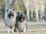 Two cute Keeshond dog
