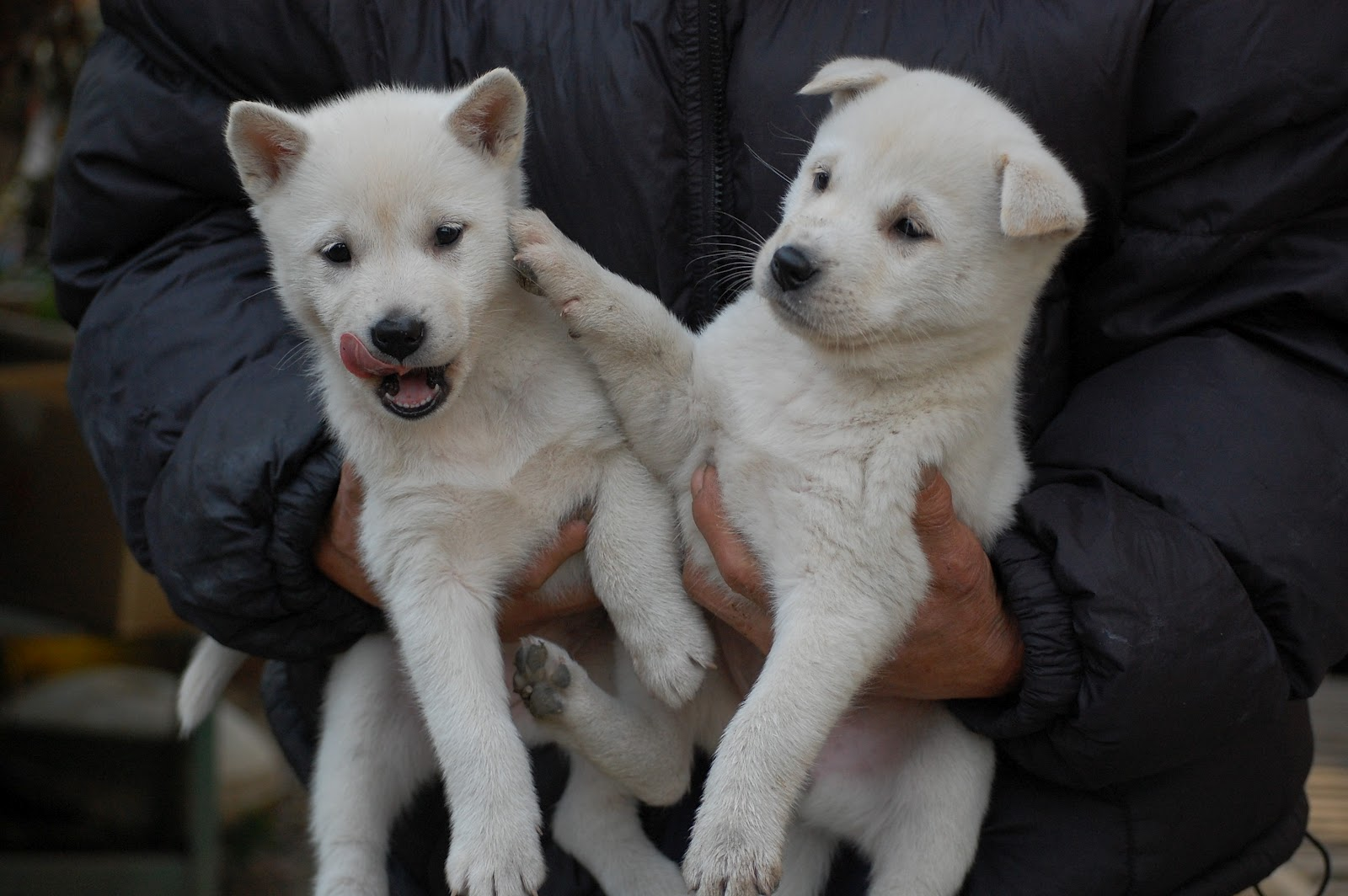 Two cute Kishu puppies wallpaper