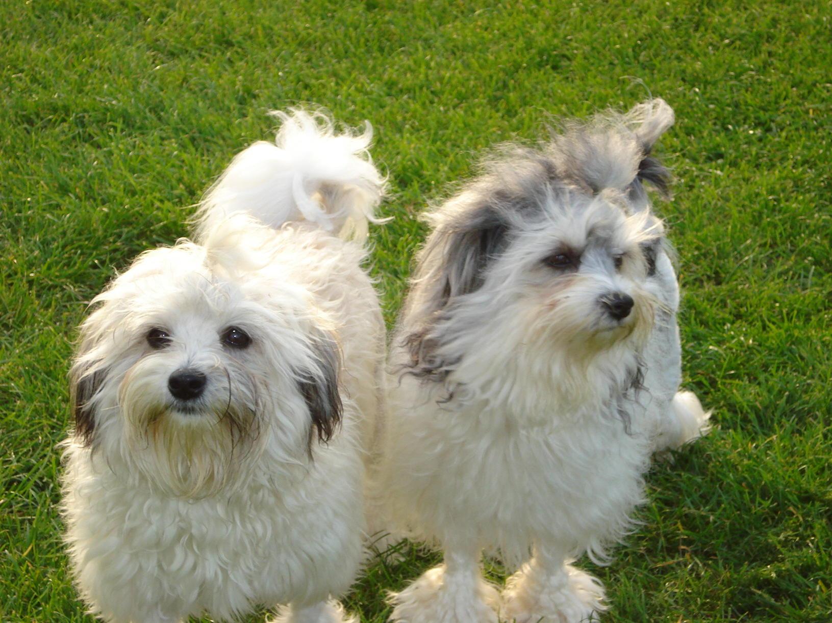 Two cute Löwchen dogs wallpaper