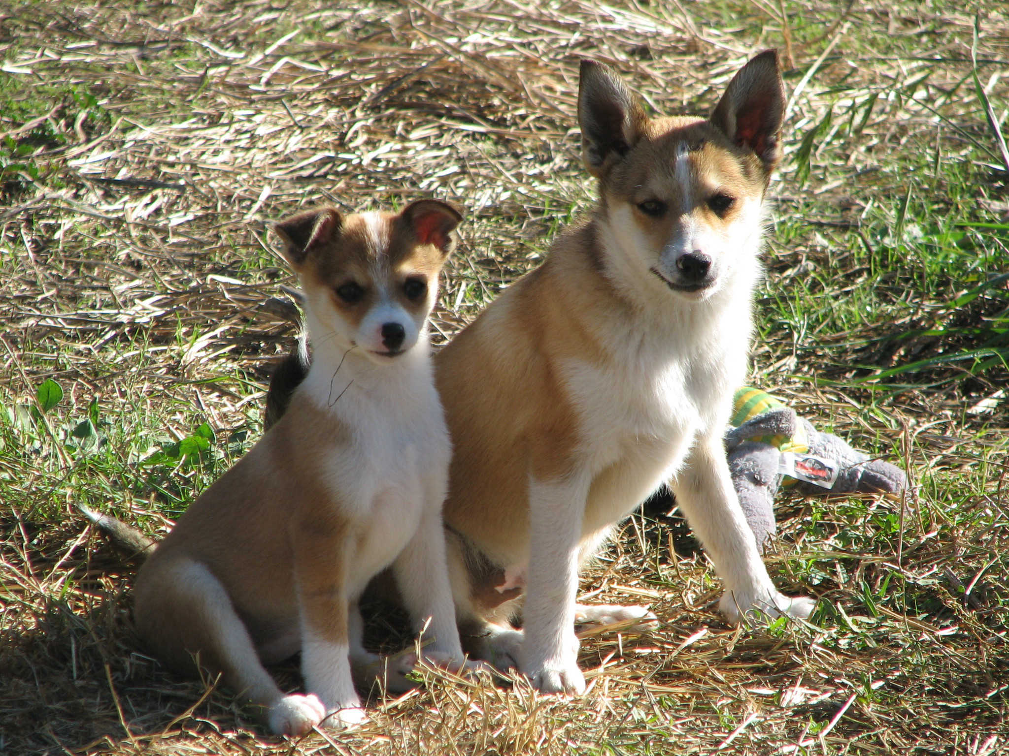 Two cute Norwegian Lundehund dogs wallpaper