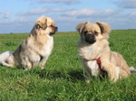 Two cute Tibetan Spaniel dogs