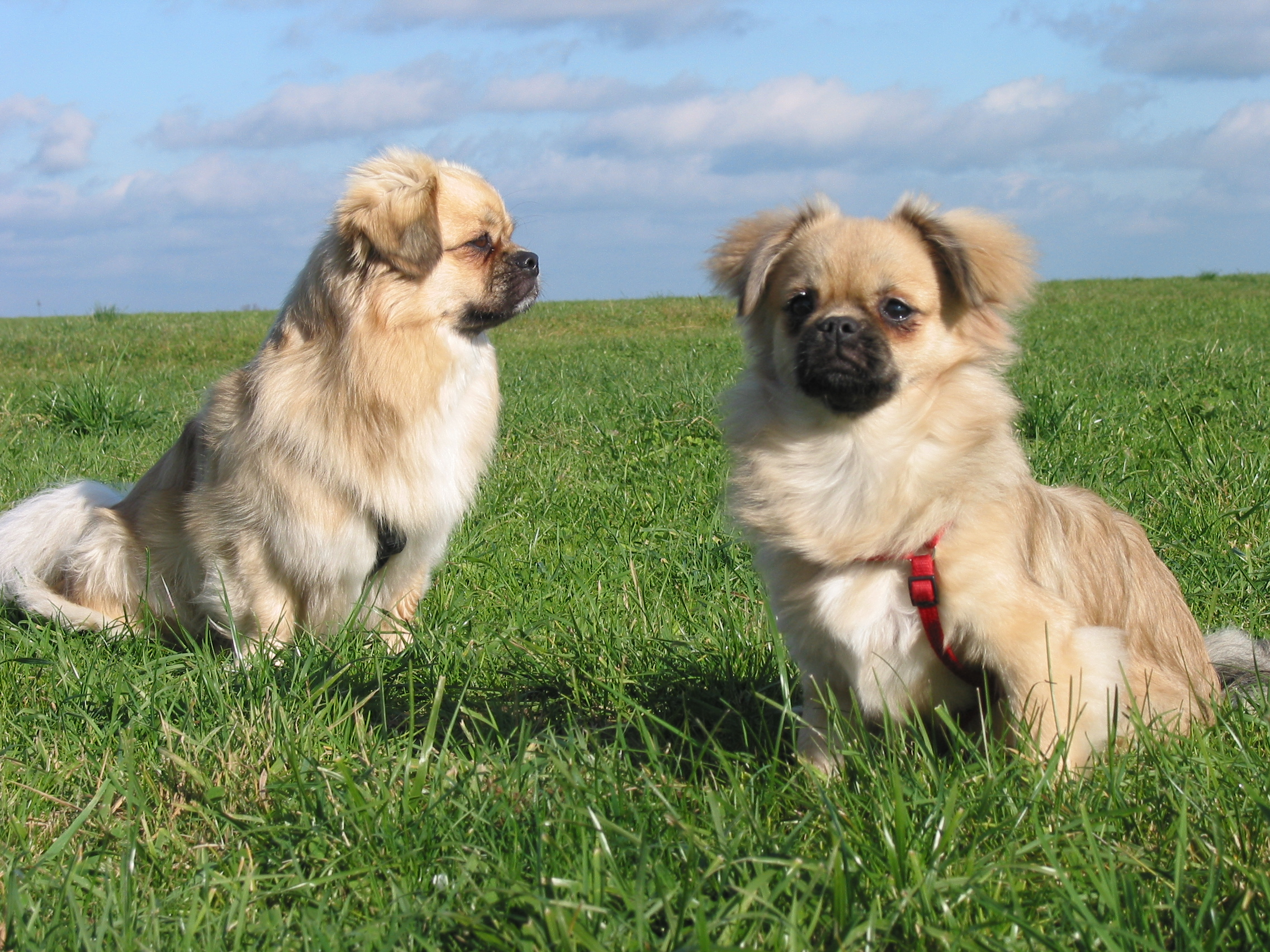 Two cute Tibetan Spaniel dogs wallpaper