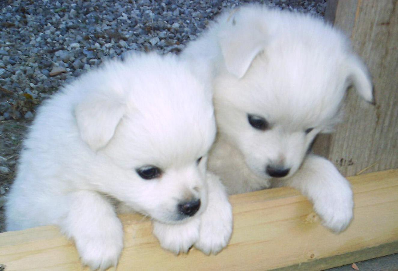 Two cute Volpino Italiano dogs wallpaper