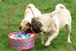 Two Easter Pug dogs