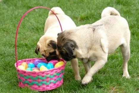 Two Easter Pug dogs wallpaper