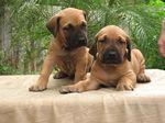 Two Fila Brasileiro puppies