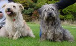Two Glen of Imaal Terrier dogs