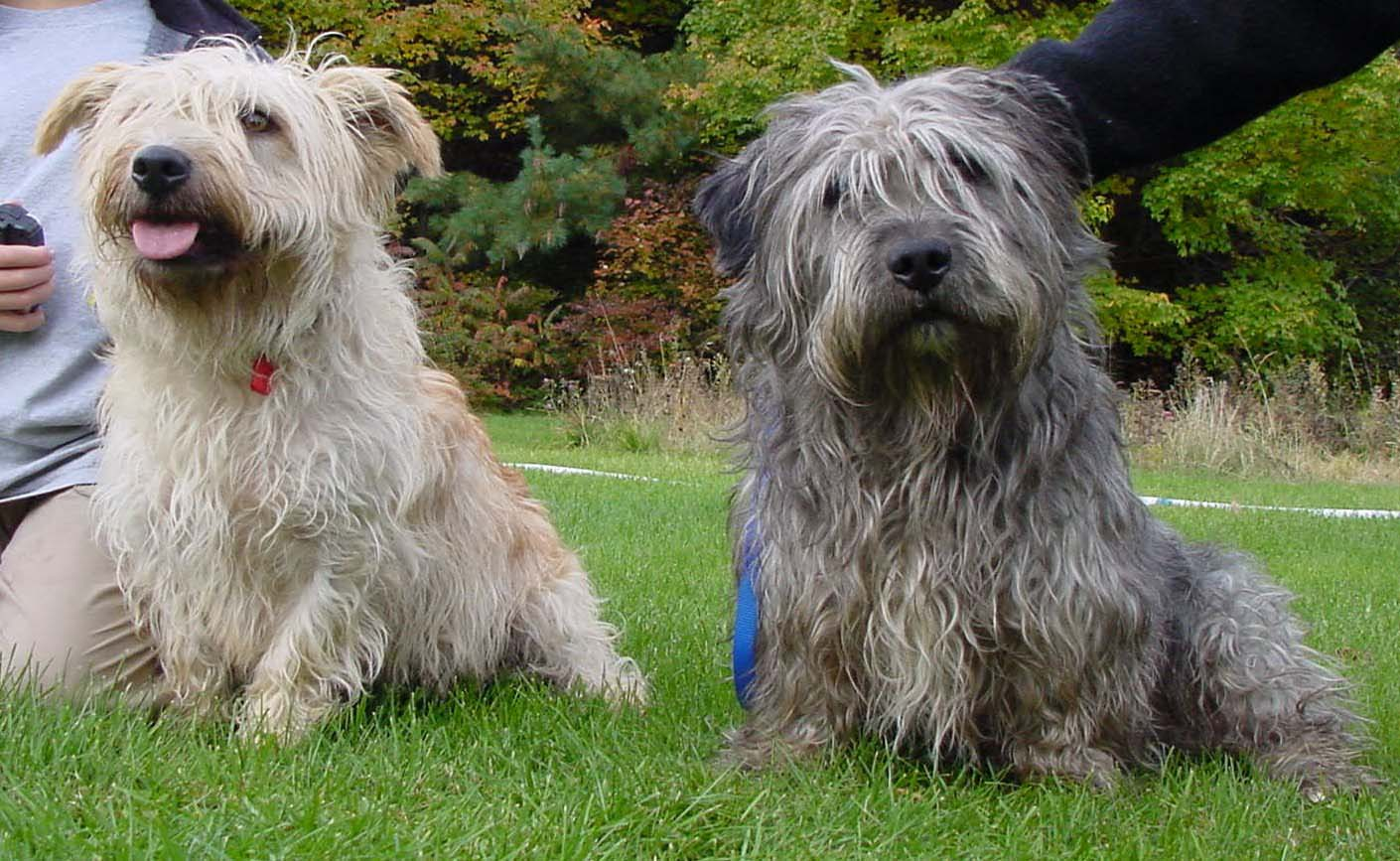 Two glen of imaal terrier dogs photo and wallpaper beautiful two two glen of imaal terrier dogs photo altavistaventures