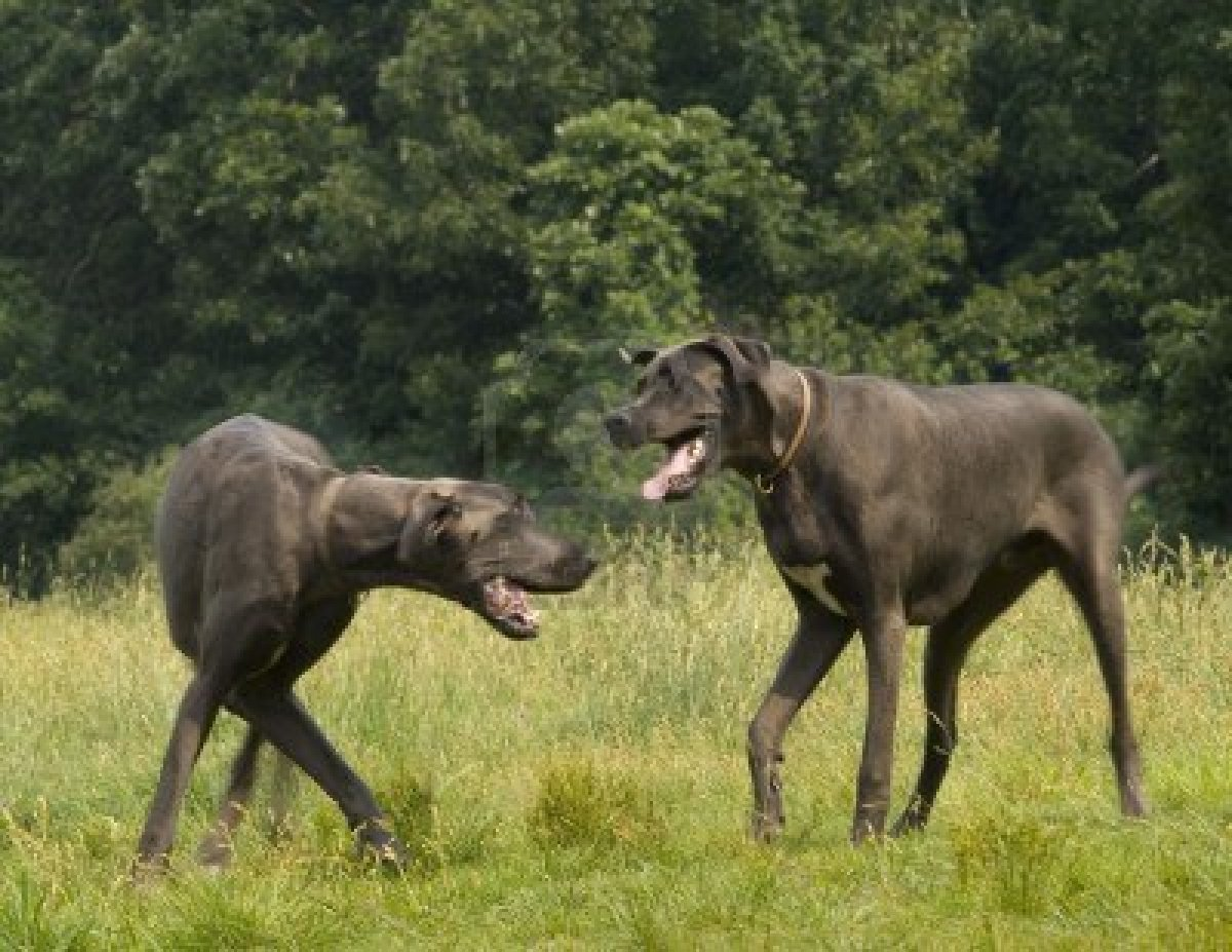 Two Great Dane dogs wallpaper