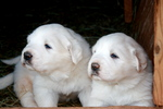 Two Great Pyrenees puppies