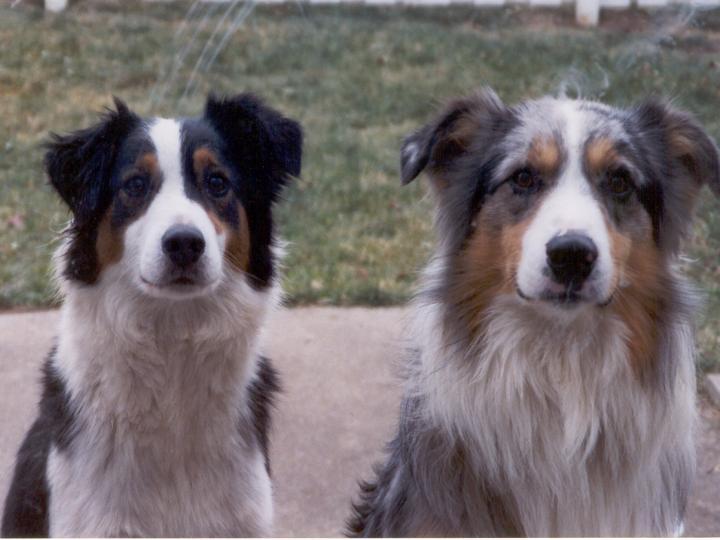 Две счастливые английские овчарки фото