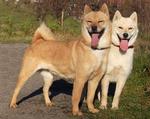 Two Hokkaido dogs