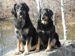 Two Hovawart dogs