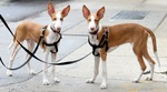 Two Ibizan Hound dogs
