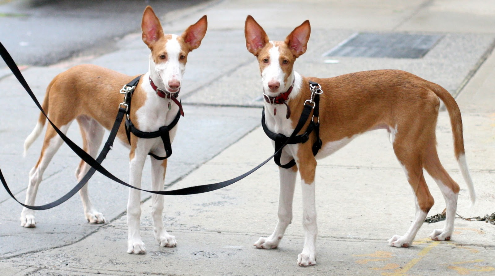 Two Ibizan Hound dogs wallpaper