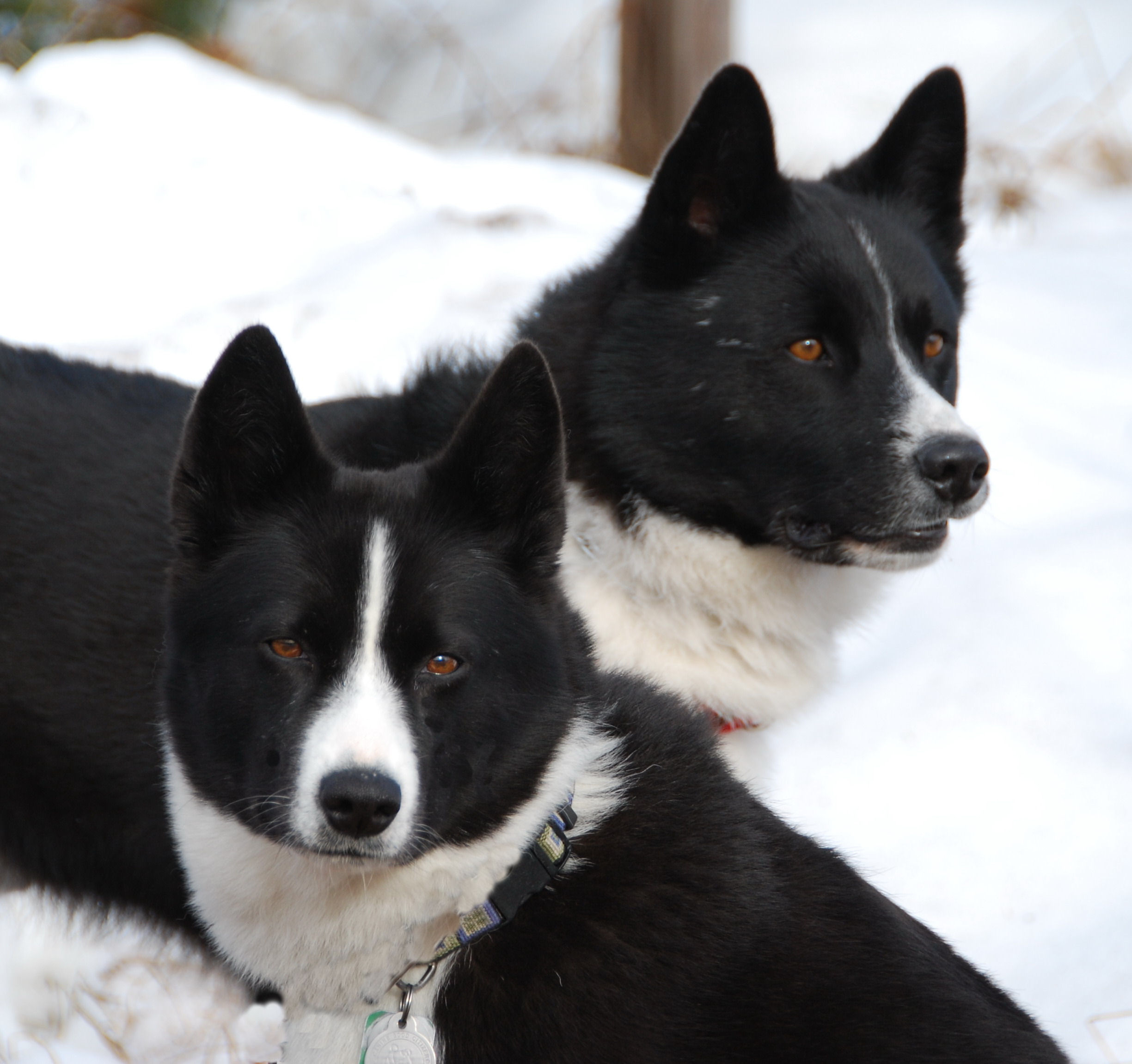 Two Karelian Bear Dogs wallpaper