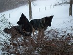 Two King Shepherd dogs