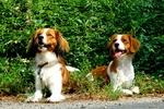 Two Kooikerhondje dogs