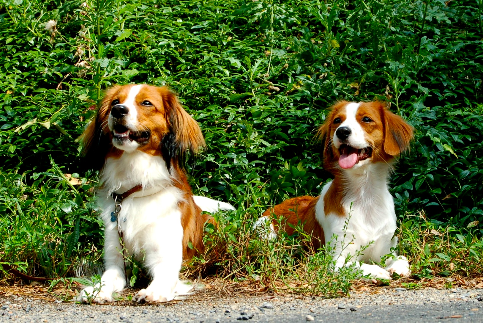 Two Kooikerhondje dogs wallpaper