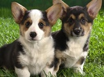 Two Lancashire Heeler dogs