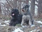 Two lovey Black Russian Terrier dogs
