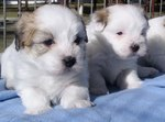 two lovely Coton de Tulear puppies