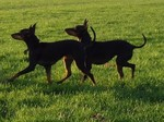 Two lovely English Toy Terrier(Black Tan) dogs