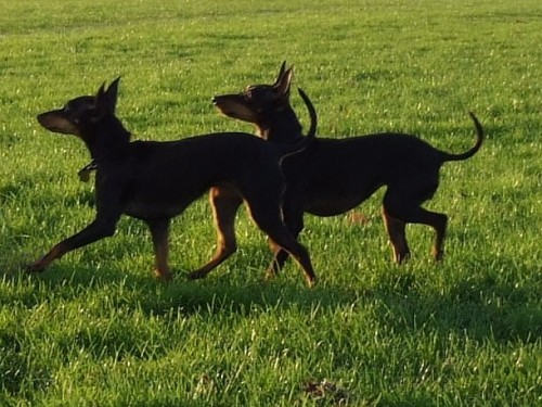 Two lovely English Toy Terrier(Black Tan) dogs wallpaper