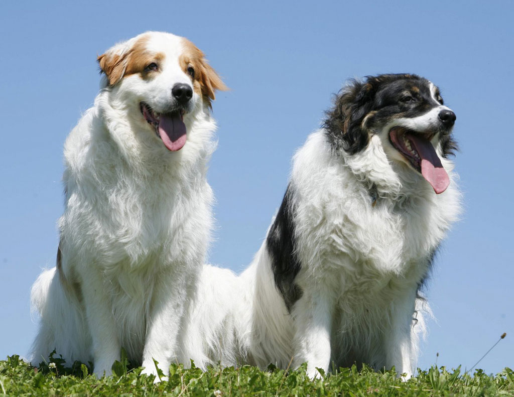 Two lovely Tornjak dogs wallpaper