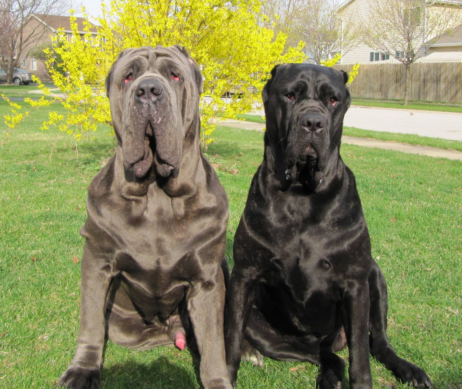 Two Neapolitan Mastiff dogs wallpaper