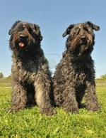 Two nice Bouvier des Flandres dogs