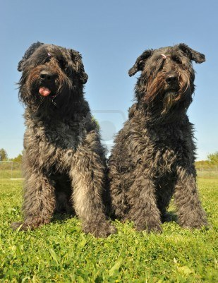 Two nice Bouvier des Flandres dogs wallpaper