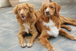 Two Nova Scotia Duck-Tolling Retriever dogs