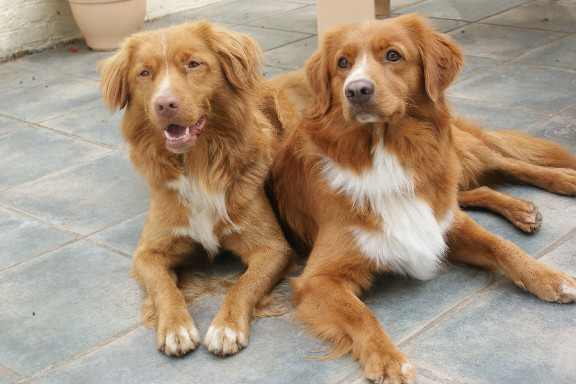 Two Nova Scotia Duck-Tolling Retriever dogs wallpaper
