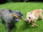 Two playing Cairn Terrier dogs