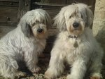 Two Polish Lowland Sheepdog dogs